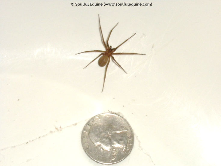 brown recluse with quarter